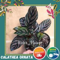 Tanaman Bunga Hias Hidup Calathea Calatea Ornata