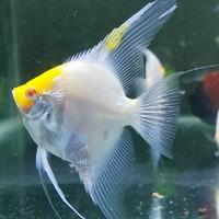 ikan Manfish varian Albino Red Cap