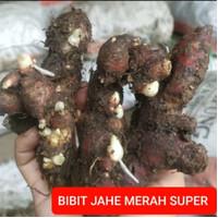 BIBIT JAHE MERAH SUPER JUMBO RIMPANG BESAR KUALITAS INDUSTRI 1 KG