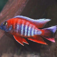 Ikan cichlid Aulonocara Jacob Eureka big size 12cm up
