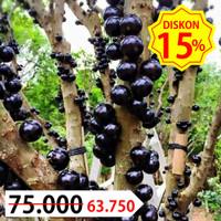 Bibit Tanaman Buah Anggur Brazil Sabara Unggul, Murah, Bergaransi