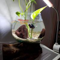 Aquarium Kaca Tiup Size L Akuarium Bulat Ikan Hias Unik Mini Pot Kaca