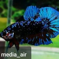 ikan cupang male avatar gordon
