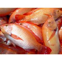 Ikan Nila Hidup / Segar 1 kg
