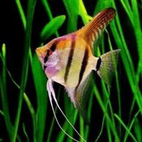 Ikan ManFish Hias Top grade