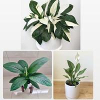 Paket 3 tanaman hias pembersih udara-tanaman hidup-bunga hidup murah