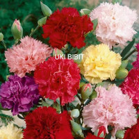 ( 10 Butir ) Benih Bunga Anyelir | Dianthus Mix