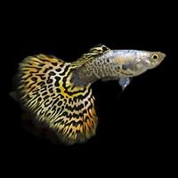 Ikan Hias Guppy Platinum Tiger Aquarium Aquascape
