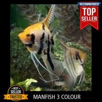 Ikan Manfish Tree Colour