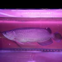 Ikan Hias Arwana Jardini Sumo / Arowana Batik Jardini Papua Red Pearl