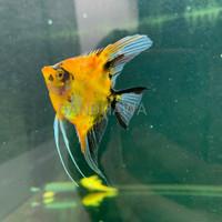 Manfish Red Devil / Ikan Aquascape / Maanvis / Koi Red Devil