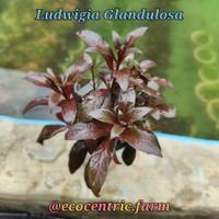 Tanaman Aquascape Ludwigia Glandulosa