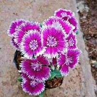 Tanaman hias bunga anyelir/diantus