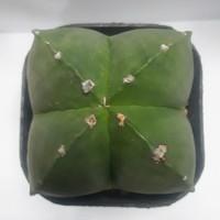 Astrophytum Myriostigma Quadricostatum Nudum
