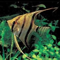 Ikan Manfish Zebra