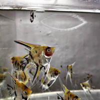 Ikan Manfish Koi