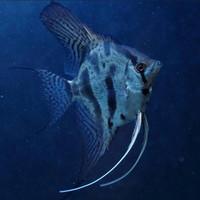 Ikan Manfish Clown