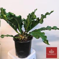 tanaman hias gelombang cinta