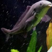 ikan hias baby dolphin lumba aquarium
