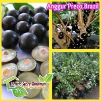 Bibit Tanaman Anggur Preco Brazil Cangkok Originall