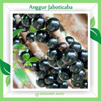 Bibit Tanaman Buah Anggur Pohon Jaboticaba Brazil Preco