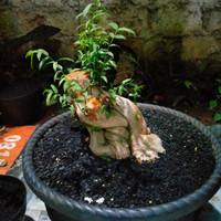 bahan bonsay tanaman Anting putri bogel
