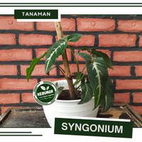 TANAMAN HIAS SYNGONIUM WENDLANDII - TANAMAN SYNGONIUM WENDLANDII