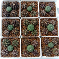 Paket Astrophytum dan Kaktus Miha & LB hybrid