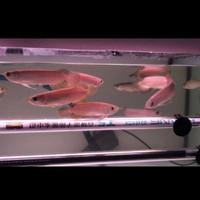 ikan Arwana Banjar Red ( 13 - 14 ) cm