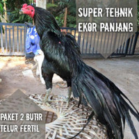 Ayam Bangkok telur fertil paket 2 butir asli pakhoy super aduan ekor