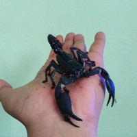 (SOLD OUT) asian forest scorpion