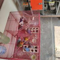 Baby Lovebird Ternakan Sendiri usia +/- 1bln Unsex