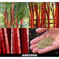 Benih Bambu Red China 10 seed