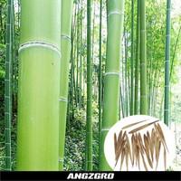 Benih Bambu Raksasa Mosso China 10 Seeds