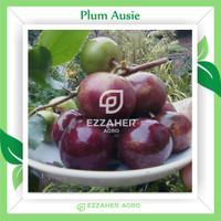 Bibit Tanaman Buah Plum Aussie