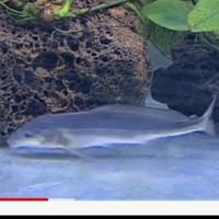 ikan hias baby dolphin aquarium