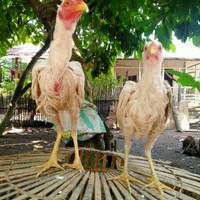sepasang ayam Bangkok putih umur 4 bln