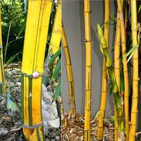 Paket 10 bibit benih stek bambu kuning asli