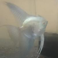 ikan hias manfish smokey piraiba ukuran 3cm