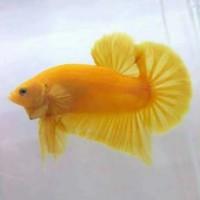 Ikan Hias Cupang Yellow Banana/Cupang Yellow Solid Usia 3 Bulan Up