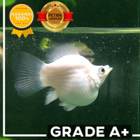 Grade A+ Ikan Platinum Molly Balon Ekor Bundar Size L (4 - 5cm). Lucu!
