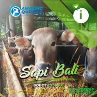 Grosir Hewan Qurban Bogor menjual Sapi Bali bobot ±250kg PREMIUM