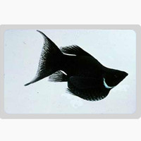ikan black molly balon aquascape pemakan algae aquarium air tawar
