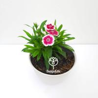 Anyelir Dianthus Bicolor Merah