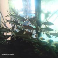 Ikan bala shark tankmate size 6-8cm
