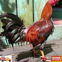JOSSGANDOS!! sepatu ayam anti bubul untuk ayam philipin peru dan