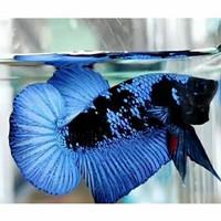Ikan Cupang Avatar Cendolan bahanan terbaik murah
