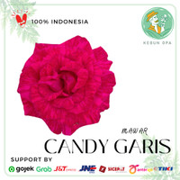 Bunga Mawar Hidup Bibit tanaman mawar Sudah Berbunga (Pilih Warna) - Candy Garis