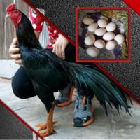 Ayam bangkok asli thailand pakhoy aduan telur fertil paket 2 butir