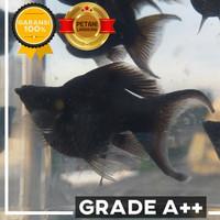 Grade A++! Ikan Black Molly Balon Ekor Cawang / Cagak Size L (4-5cm)